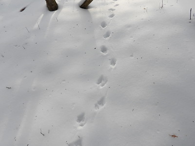 Virginia Opossum - tracks and trail