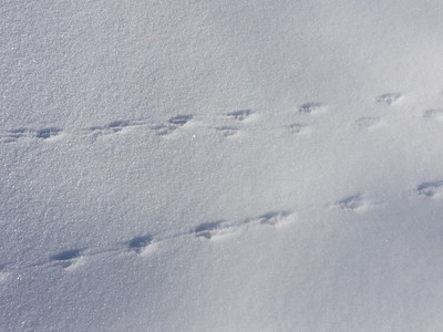 White-footed Mouse - tracks and trail