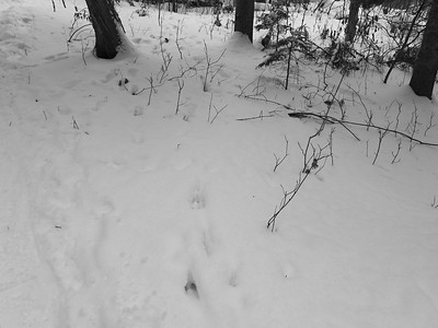 White-tailed Deer - tracks & trail