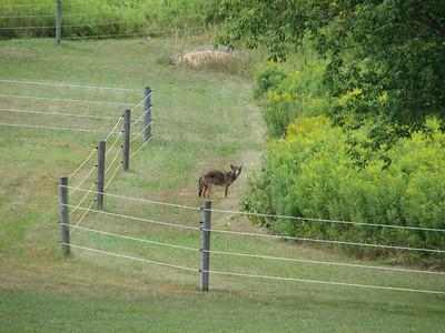 Coyote - he saw me