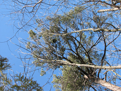 Porcupine sunning and resting near top of white pine tree
