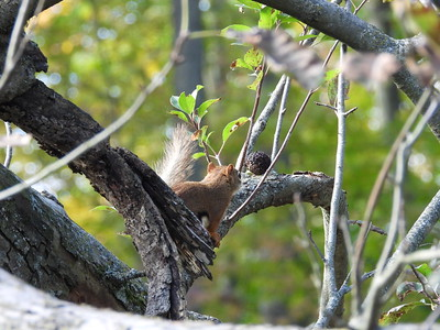Red Squirrel - backing away from recently cached walnut