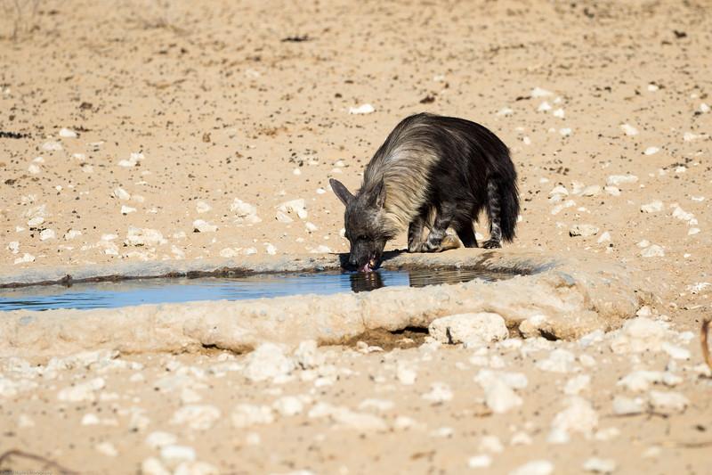 Brown Hyena drinking