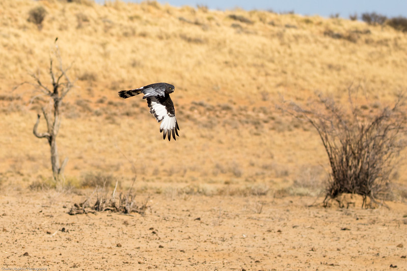 Black Harrier in flight