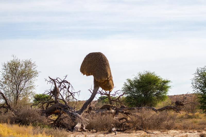 Sociable wever bird nest
