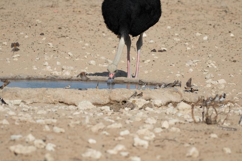 Ostrich drinking