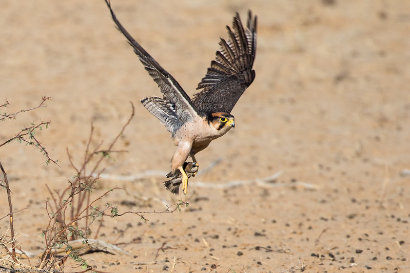 Lanner Falcon that has caught a Cape Sparrow