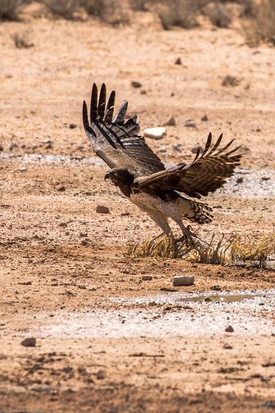 Martial Eagle in flight