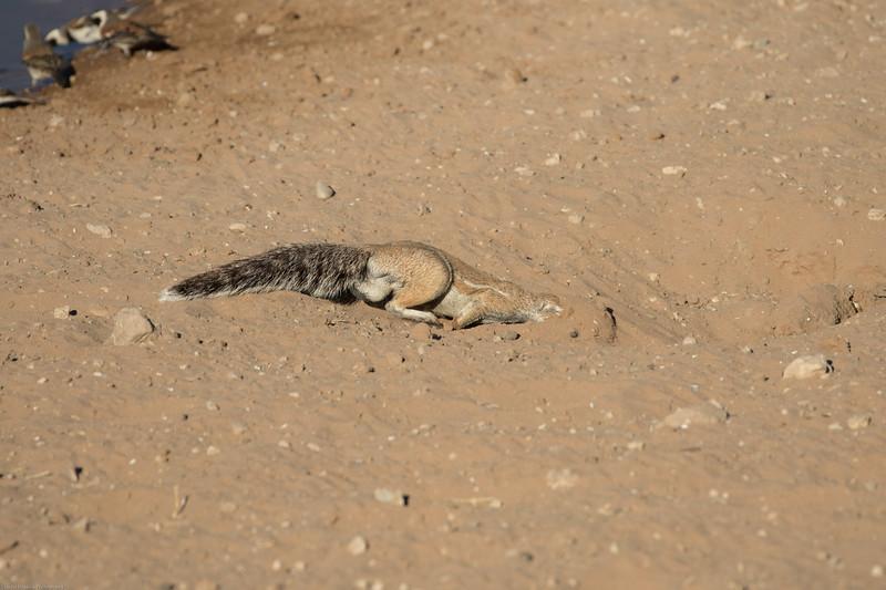 Ground Squrrel