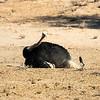 Ostrich dust bathing