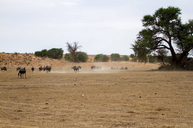 Gnu, aka blue wildebeest