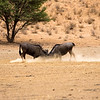 Gnu, aka blue wildebeest fighting for dominance