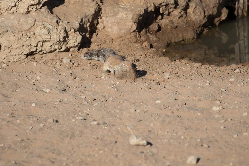 Ground Squrrel drinking