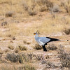 Secretary bird on the hunt