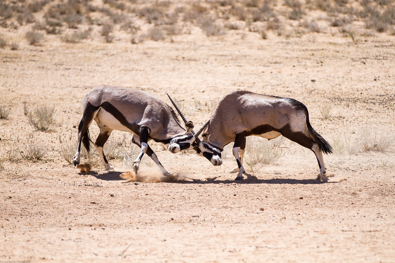 Gemsbok, aka Oryx bulls fighting  for dominance