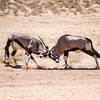 Gemsbok, aka Oryx bulls fighting  for dominance
