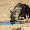 Brown Hyena drinking