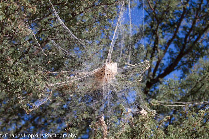 Community Spider Nest