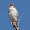 Pygmy Falcon