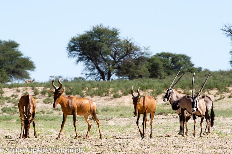 Red Hartebeest and Gemsbok