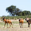Red Hartebeest and Gemsbok