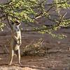 Suricate aka Meerkat