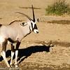 Gemsbok aka Oryx