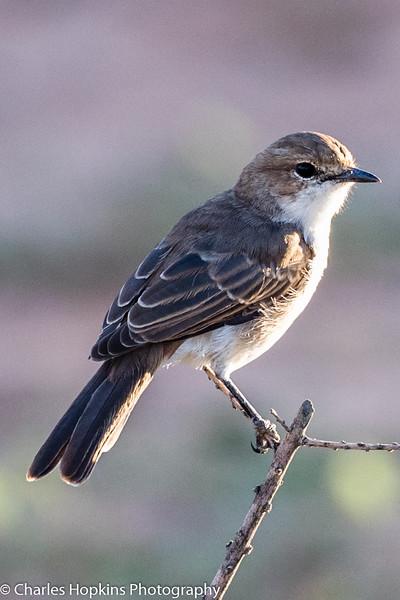 Marico Flycatcher