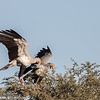 Nesting pair of Secretary birds