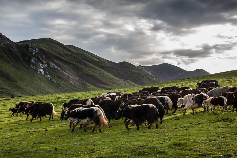 Yaks coming home in the evening. Nomad family. Namsai.