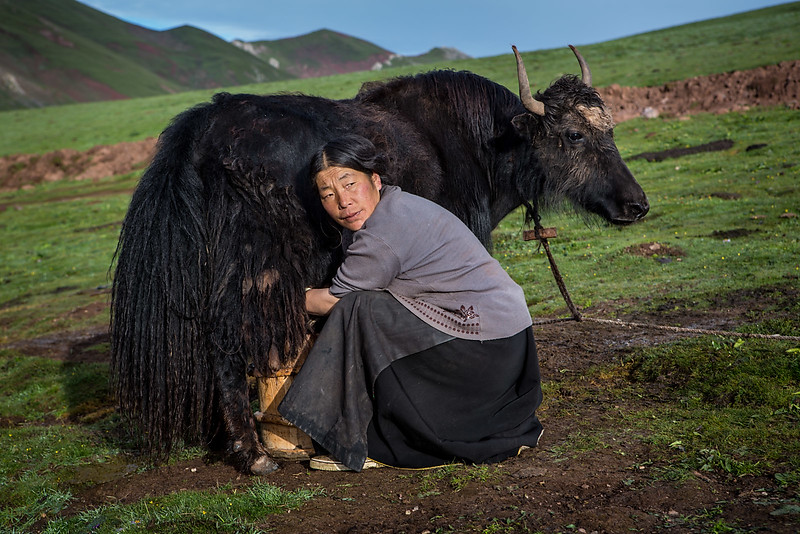 Milking the yaks in the morning. Nomad family. Namsai.
