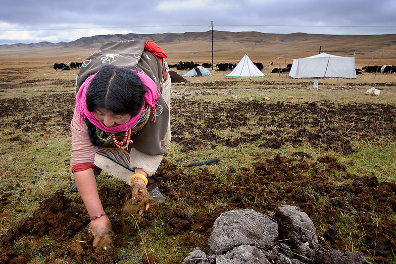 Collecting yak dung. Nomad camp, near Zeku, Tsekok, Amdo (Qinghai)