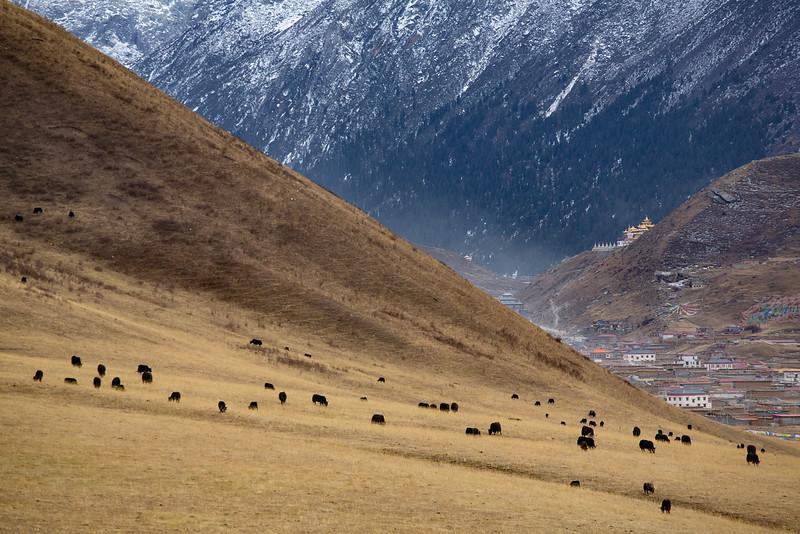Yaks grazing, near the Dzogchen monastery