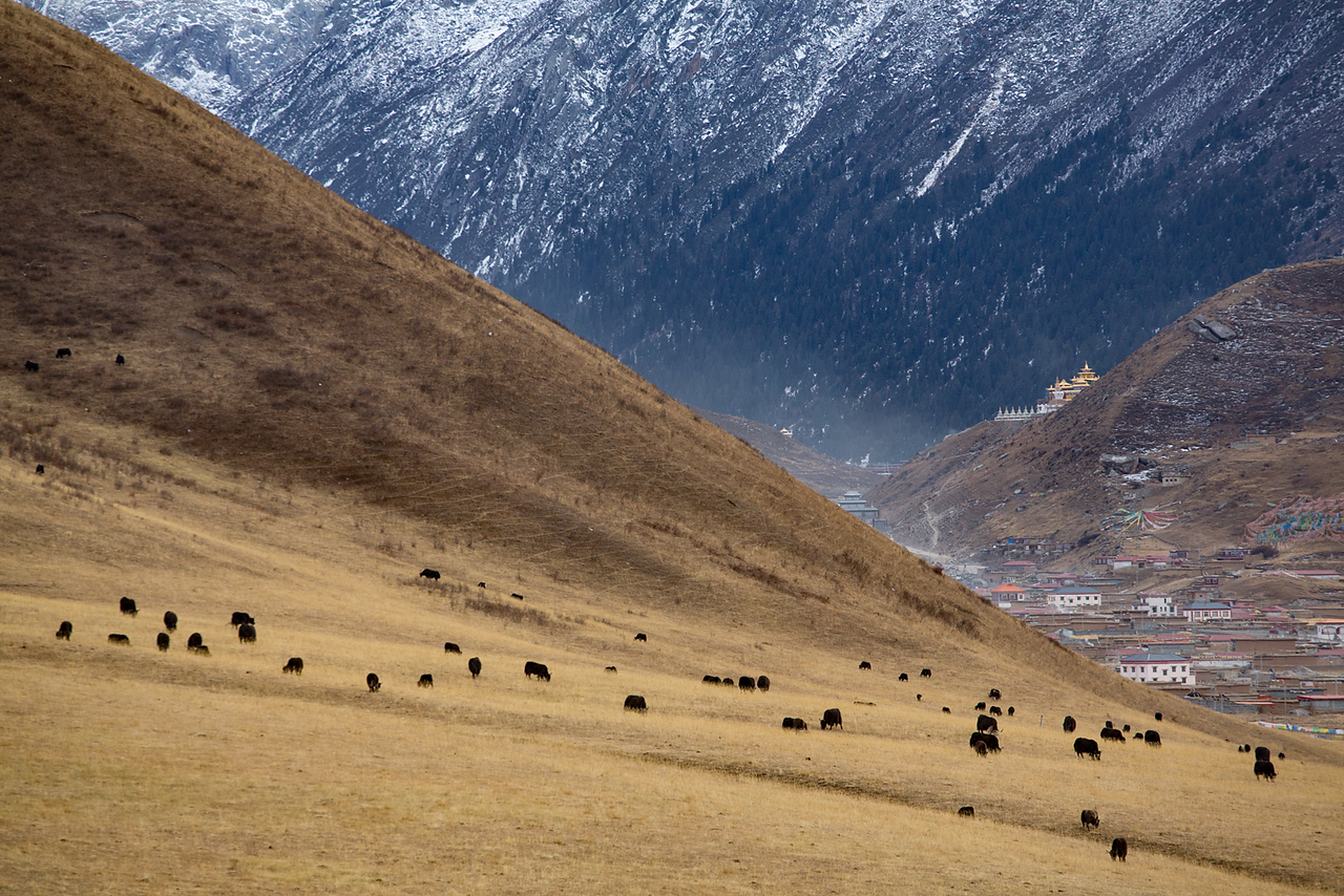 Yaks grazing, near the Dzogchen monastery