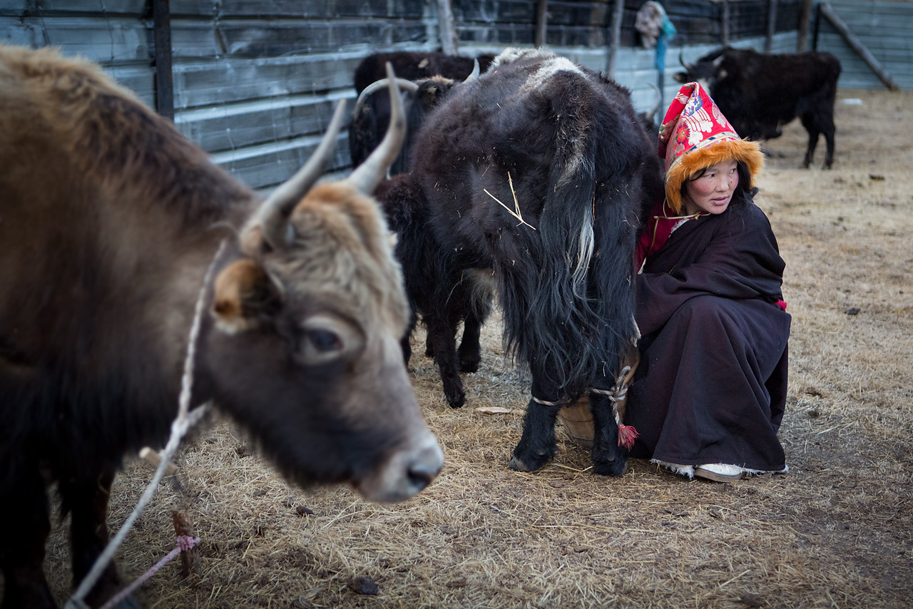 Milking the yaks, near the Dzogchen monastery