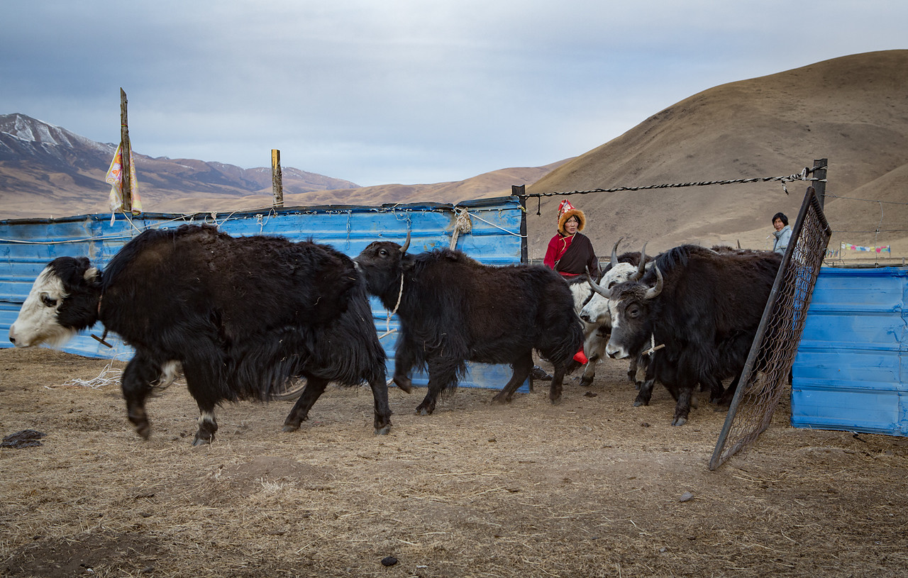 Letting the yaks go in the morning, near the Dzogchen monastery