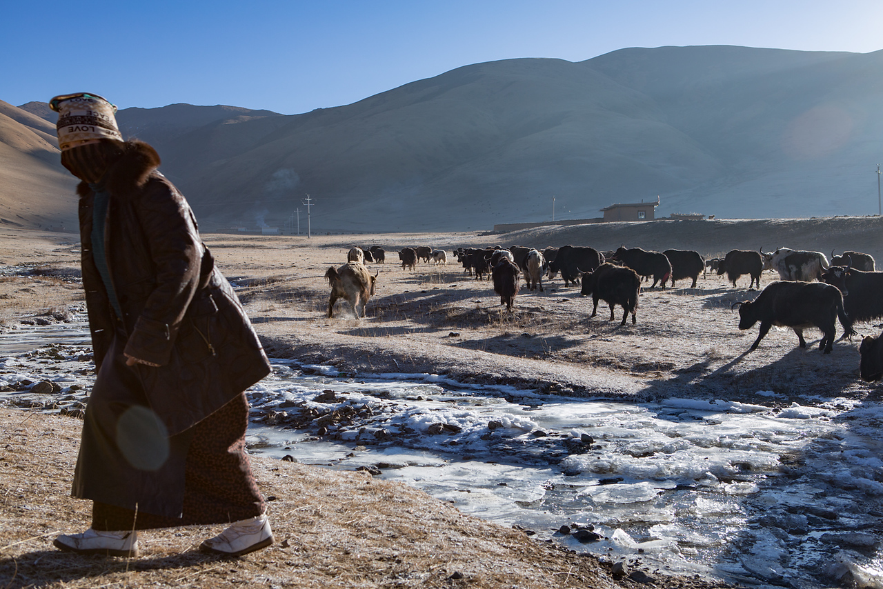 Yaks leaving for the grasslands, near the Dzogchen monastery