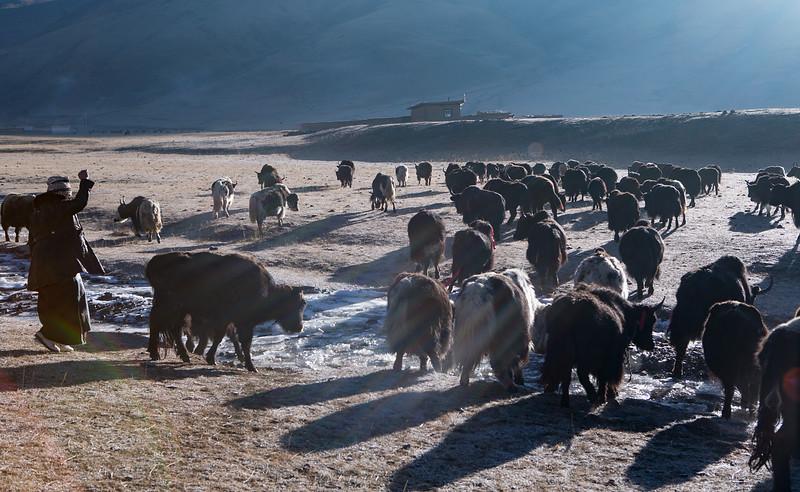 Yaks leaving for the grasslands, near the Dzogchen monastery