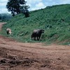 Lang Vei Water Buffalo-1967