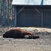 Sunbathing - horse style.  February 18, 2012