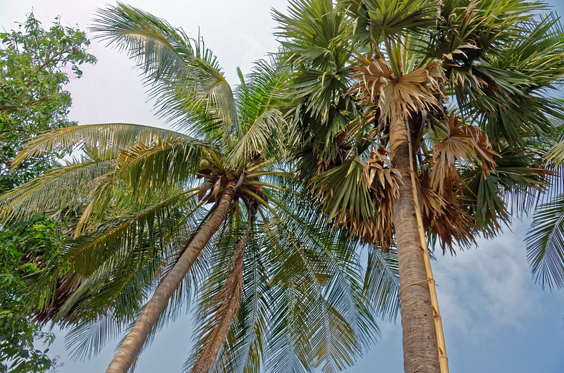 The sugar palm is on the right. Note the bamboo ladder used to climb the tree.