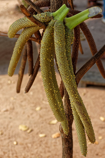 Juice is extracted from the male flowers, seen here.