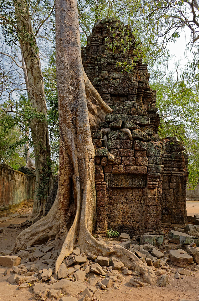 Strangler-fig tree whose roots have insinuated their way into the tower's structure
