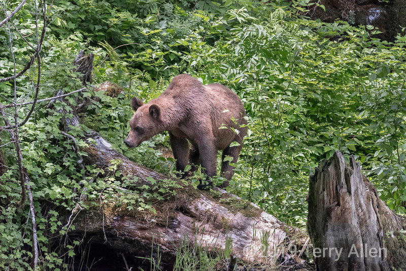 Mother grizzly on a deadfall tree looking down for her cub, Khutzeymateen, BC