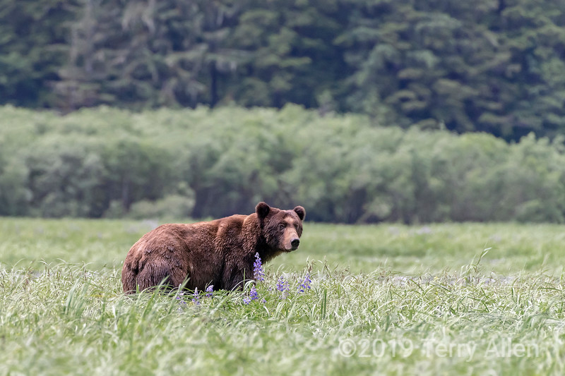 Adult grizzly bear with lupines and sedge grass, Khutzemateen, BC