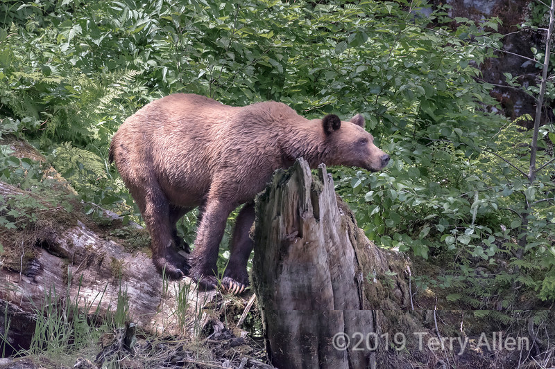 Female grizzly bear in the forest, Khutzeymateen, BC