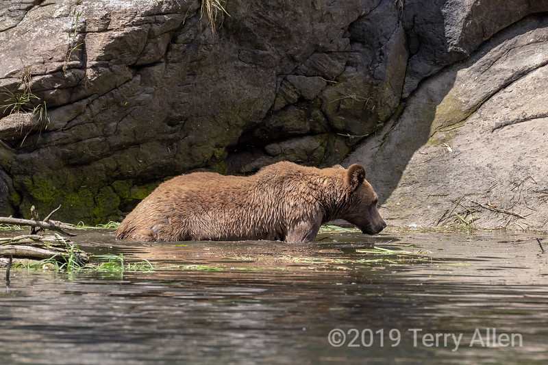 Young grizzly bear wading along the shoreline, Khutzeymateen, BC