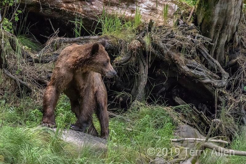 Young grizzly by some deadlalls, Khutzeymateen, BC