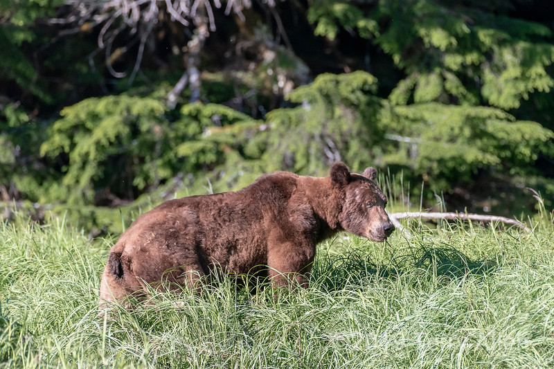 Large grizzly bear in the sedge grasss near the rainforest, Khutzeymateen Inlet, BC