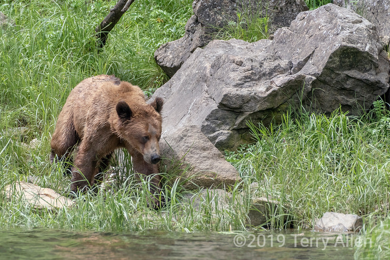 Heading for the water, young grizzly bear on the shore, Khutzeymateen, BC
